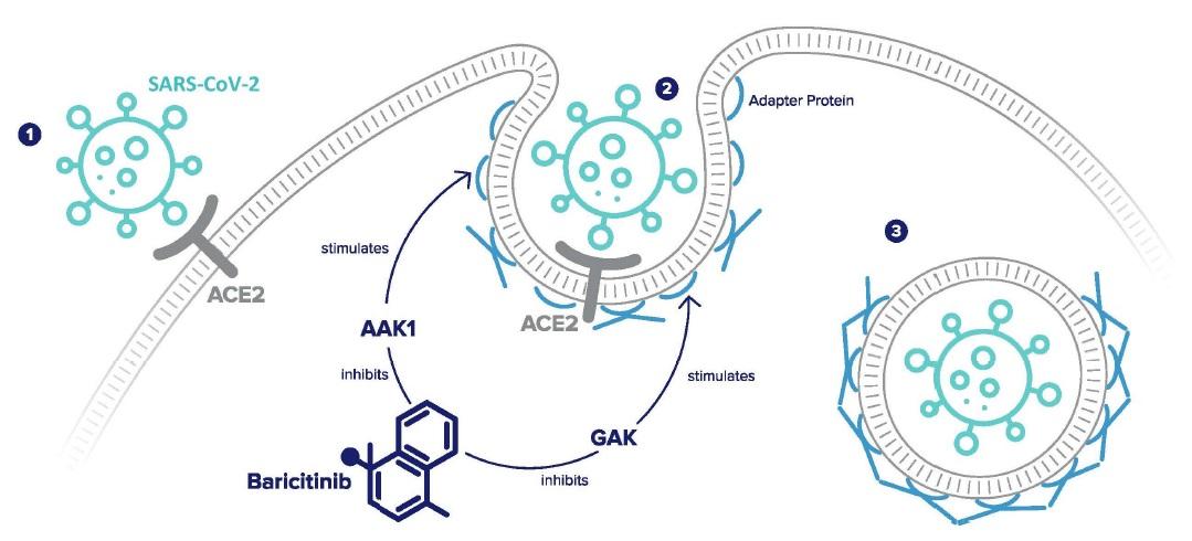 그림 쿠라토린 - 매개 내포 작용 (endocytosis)을 통한 바이러스 유입 과정 (출처 Lancet Infect Dis 2020; published online Feb 27 https://doi.org/10.1016/S1473-3099(20)30132-8)